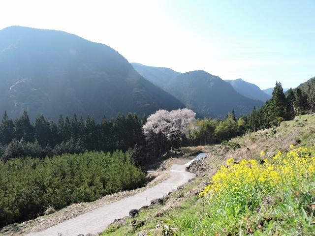 毎床桜.jpg
