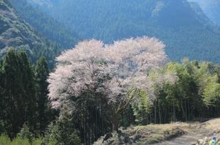 毎床地区の大山桜